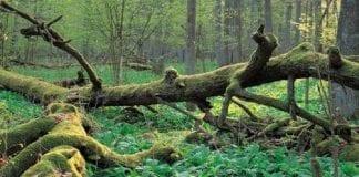 Bialowieza-skovene-er-UNESCO-beskyttet-natur