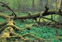 Bialowieza-skovene-er-UNESCO-beskyttet-natur_0