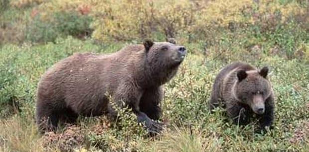 Brune_bjørne_farlige_i_det_sydlige_Polen