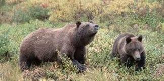 Brune_bjørne_farlige_i_det_sydlige_Polen_0