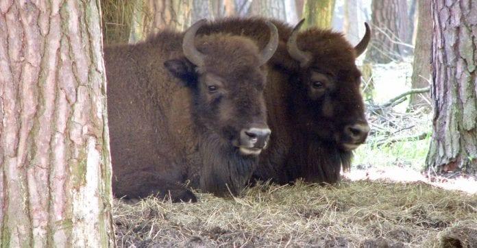 Naturstyrelsen_vil_sætte_polske_bison_ud_på_Bornholm