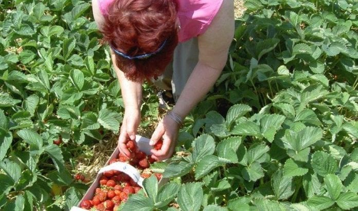 Polske_jordbærplukkere_er_blevet_mangelvare_i_Polen_2