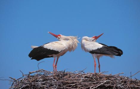 Storke-findes-i-titusindevis-i-Polen