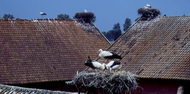 Storke_på_tag_i_Polen