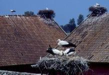 Storke_på_tag_i_Polen_0