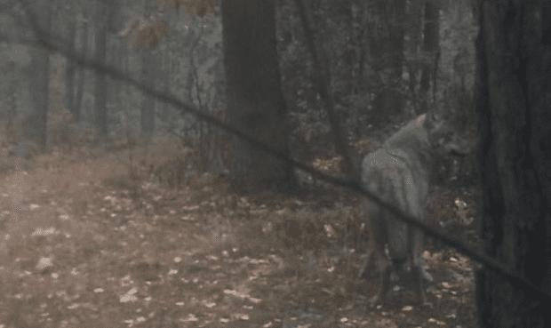 Ulve_er_flyttet_ind_i_nationalpark_tæt_ved_Warszawa_i_Polen
