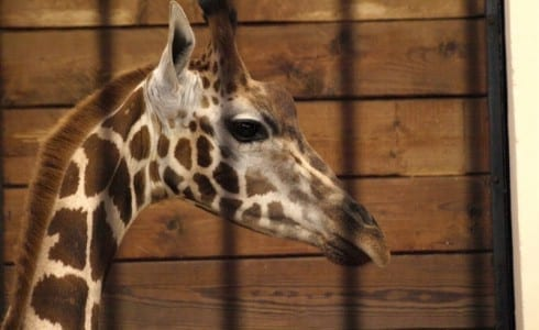 Zoo_i_Lodz_giraf_Polen
