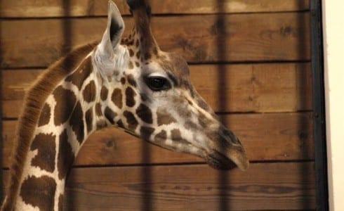 Zoo_i_Lodz_giraf_Polen_0