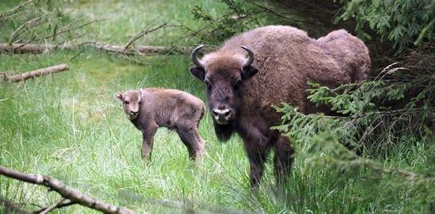 bison-mor-og-kalv
