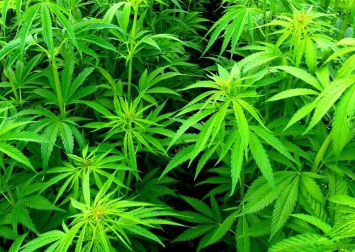 cannabis_hash_marihuanna_polen