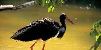 orte-stork-en-af-verdens-mest-sj__ldne_fugle