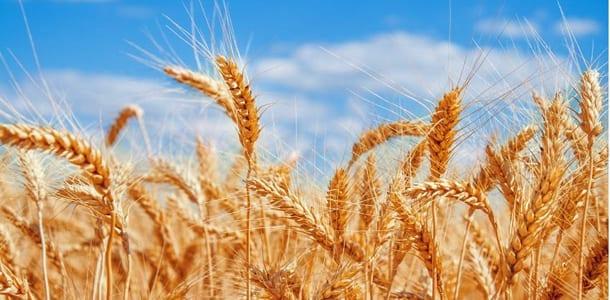 polens-eksport-af-hvede-voksede-i-2014