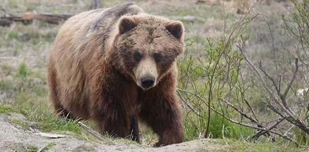 polsk_bjørn_dræber_mand_polennu