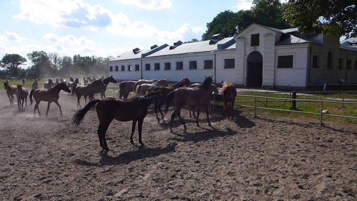 tre_doedsfald_blandt_heste_i_janow_podlaski_i_polen