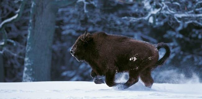 den_polske_bison-okse_er_en_truet_dyreart_polennu