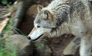 ulve_lever_vildt_i_polen_polennu