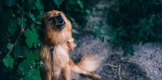 polennu_hund_i_kaede